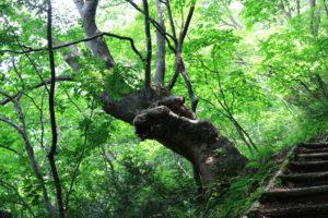 ケヤキの森(蓬山遊歩道)
