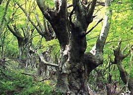 ケヤキの森
